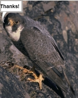 Photo of a Peregrine Falcon saying thanks.