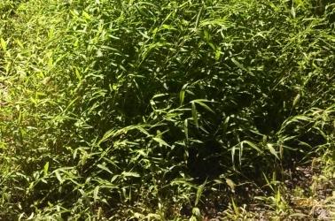 Japanese stilt grass, an invasive species in New York.