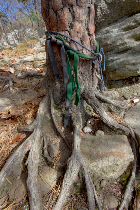 "The eroded and stressed tree atop the rock climb, ""Jackie"" at the Gunks."