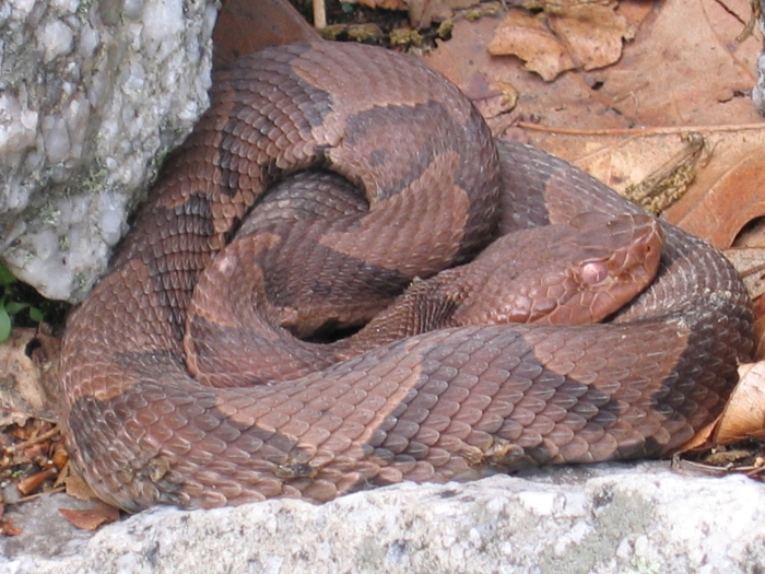 Close up of Copperhead hiding in the rocks.  (photo: Jannette Pazer)