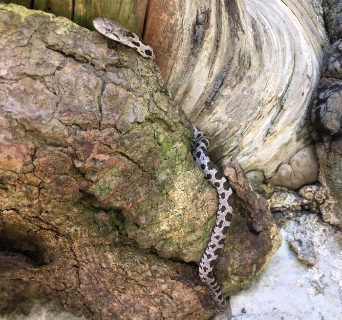 Baby rat snake in the Gunks.