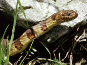 Northern Water Snake (image from Cortland Herpetology Connection)