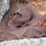 Copperhead snake.