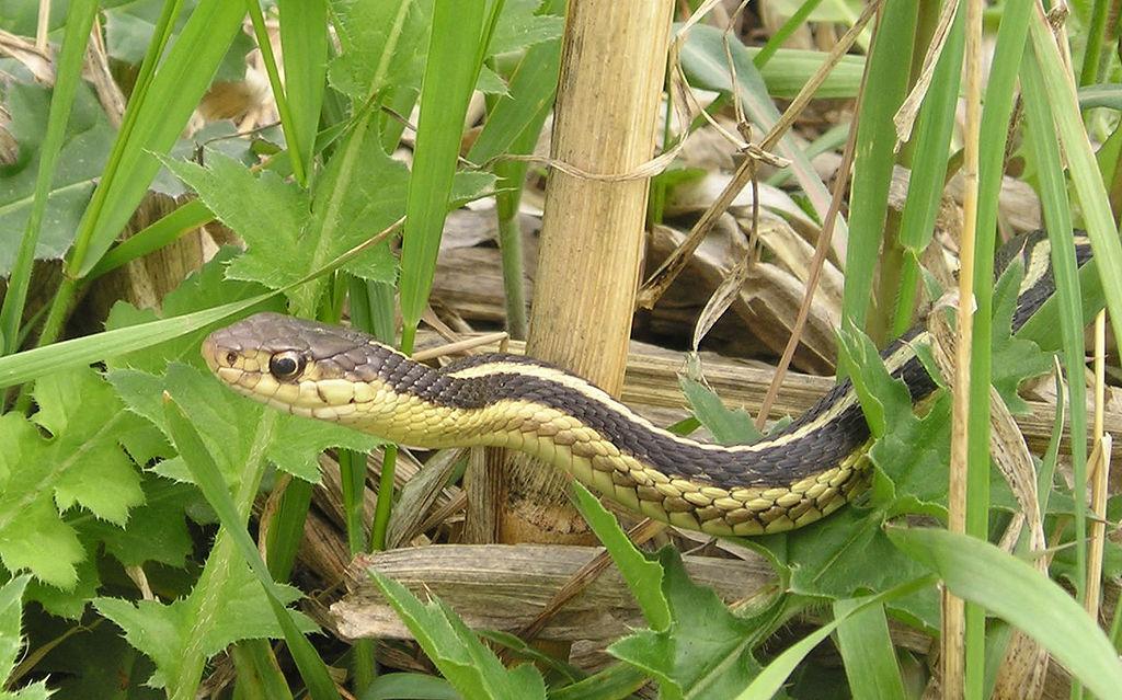 Garter Snake (image by Blaine Hansel, wikimedia)