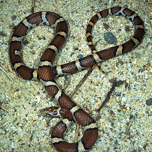 Milksnake (image from Cortland Herpetology Connection)