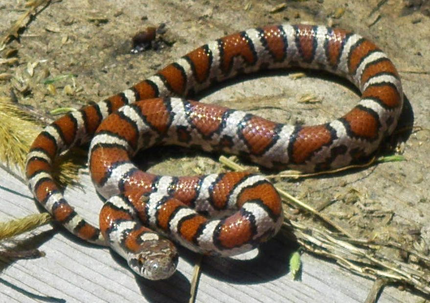 Milk Snake (wikimedia commons, author: Trista Rada, uploaded by Kaldari)