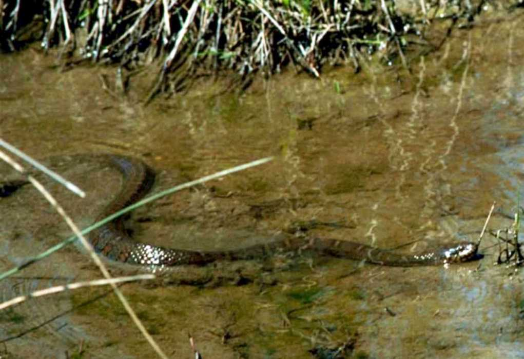 Northern Water Snake swimming (public domain)