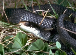Northern Black Racer snake (image from Cortland Herpetology Connection)