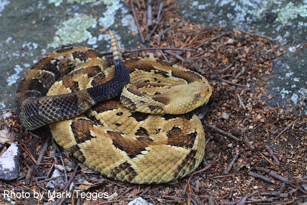 Timber Rattlesnake (image: Mark Tegges)