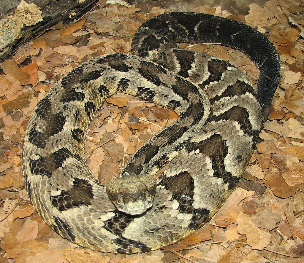 Timber Rattlesnake (public domain image)