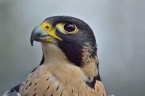 Head of a Peregrine Falcon.