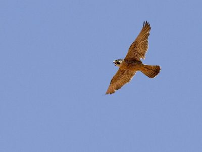 Peregrine Falcon in flight.