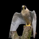 Peregrine Falcon on tree stump.