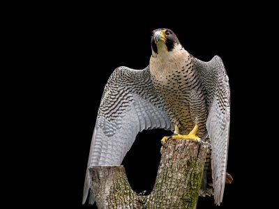 Peregrine Falcon on tree stump.