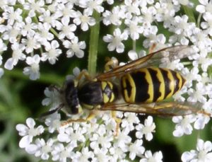 Yellowjacket female (Vespula maculifrons) on Queen Anns's lace southeastern PA. Image by Polinizador, Beatriz Moisset.
