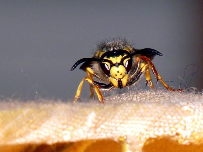 Close up shot of a yellowjacket wasp.
