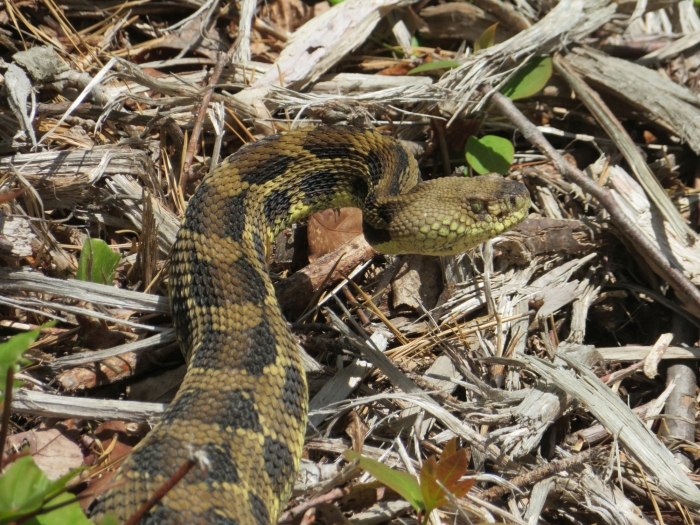Timber Rattlesnake, spotted on the Shawangunk Ridge in the western part of Minnewaska State Park, New York. (Photo: Jannette Pazer)
