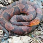 Copperhead snake seen on the side of the carriage road in the Sleepy Hollow section of the Trapps in the Gunks.