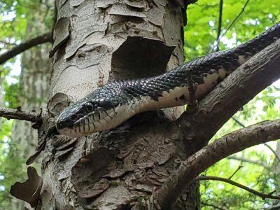 Black rat snake in tree.