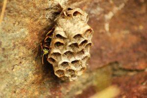 Wasps nest on rocks